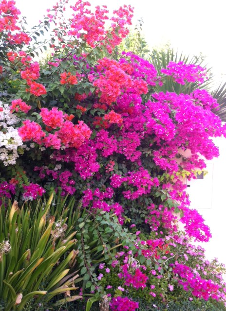 Our eye-popping bougainvillea